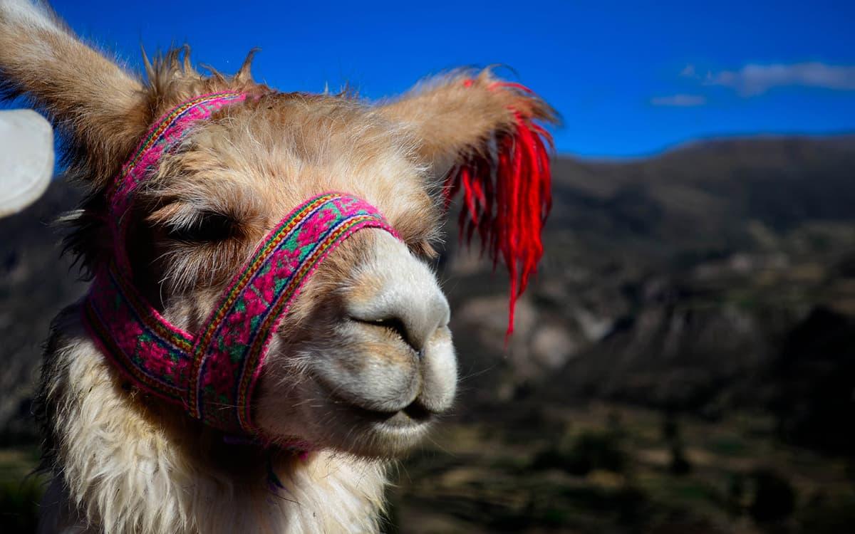 Llama-Peruana